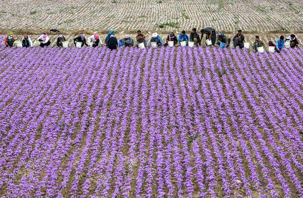 پیشبینی افزایش سطح زیر کشت زعفران هرسین به ۳۳ هکتار