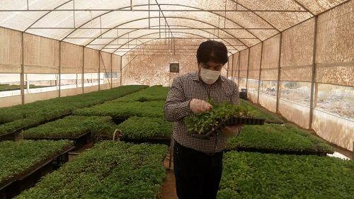 تولید 200 هزار بوته نشای کلزا در فارس
