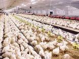 تنها ۳۰ درصد نهاده مرغداریها تامین می شود/ احتمال کاهش تولید