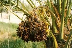 احتمال بروز تنش در محصولات کشاورزی استان بوشهر باافزایش دما و رطوبت