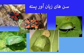 آفت سن سبز در برخی مناطق رفسنجان بین ۱۰ تا ۲۰ درصد خسارت وارد کرده است.