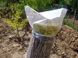 طرح سرشاخهکاری درختان گردو در کاشان اجرا شد