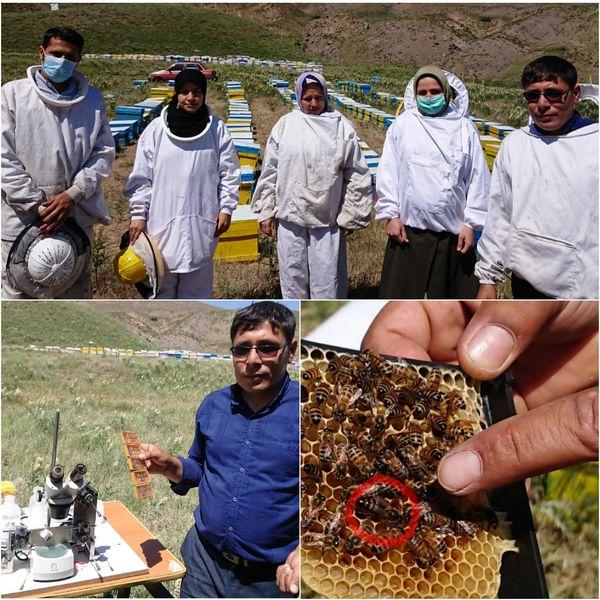 تولید ملکههای زنبور عسل اصلاح شده در آبیک