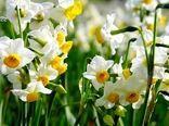 شمیم عطر گلهای نرگس خراسان جنوبی در دبی