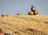 تداوم عملیات پایش و رصد مزارع گندم از لحاظ عوامل خسارتزا