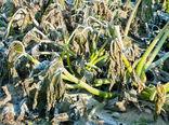 خسارت 107 میلیارد تومانی به محصولات کشاورزی آذربایجان غربی