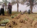 پیش بینی کشت ۶۰۰ هکتار سیر در مزارع شهداد