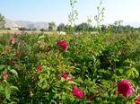 ۱۶ هزار بوته گل محمدی بین کشاورزان چالدرانی توزیع شد