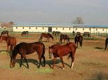 جهادکشاورزی متولی هویتگذاری اسبهای کشور است