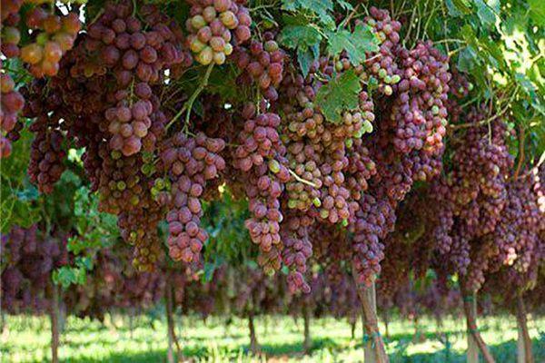 اصلاح باغات انگور ملایر با روشهای نوین با پیوند ارقام جدید تازه خوری