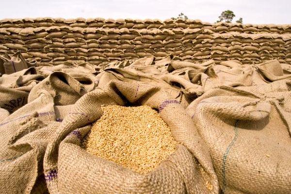 پیشبینی کاشت بیش از 30 هزار هکتار گندم در کازرون