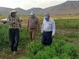 کشت ۲۵۰ هکتار گیاهان دارویی در شهرستان دره شهر