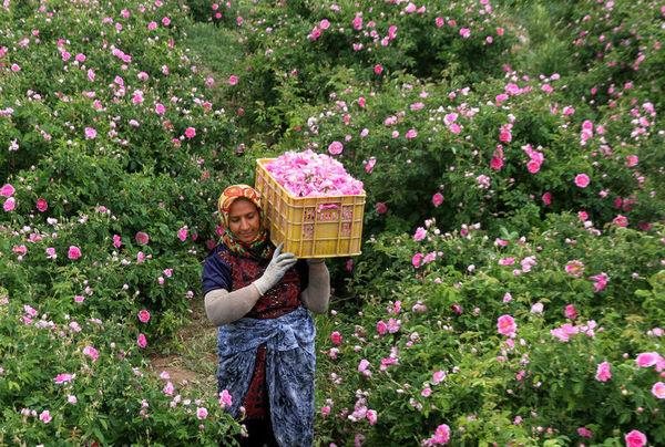 تولید سالانه 1500 تن گلاب و انواع عرقیجات در دهستان شیرکوه