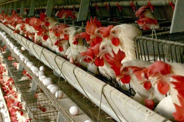 بهره برداری از فاز دوم یک واحد تولید مرغ تخم گذار  با حمایت 2000 میلیاردی بانک کشاورزی
