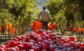 تولید سالانه 17 هزار تن انار در استان تهران
