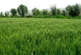 کشت گندم پرورشی و بذر مادری در شهرستان آباده
