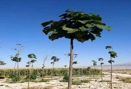 کاشت پائولونیا برای اولین بار در کازرون