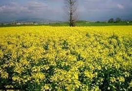 کاشت کلزا در شهرستان بردسیر