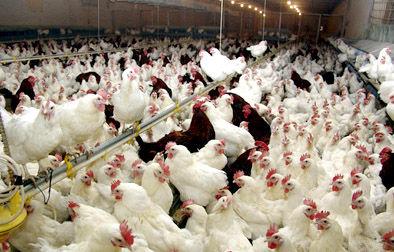 زنجیره تولید مرغ گوشتی در استان بوشهر تکمیل میشود