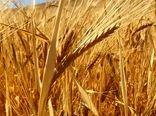آغاز برداشت جو از 6700 هکتار از مزارع کازرون