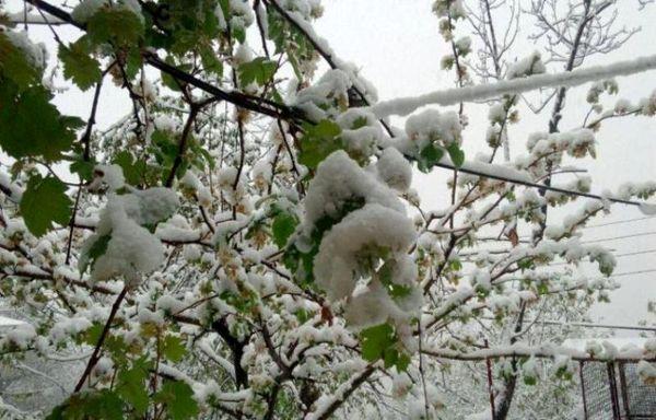 خسارت سرمای بهاری شاید این ماه پرداخت شود