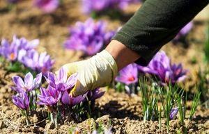 ایران 90 درصد زعفران جهان را تولید می کند