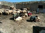 آغاز پشم چینی  در شهرستان سیروان