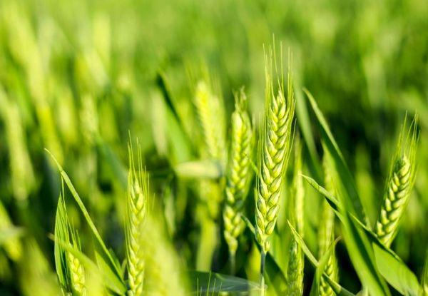 آغاز برداشت گندم از مزارع آذربایجان غربی