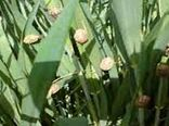 کنترل آفت سن غلات در مزارع استان اصفهان