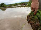 کاهش کاشت برنج در استان فارس طی 3 سال باید اجرا شود