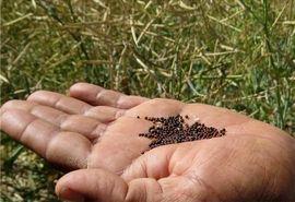 خرید 4700 تن کلزا از کشاورزان مازندرانی