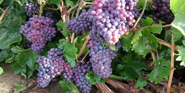 پیشبینی برداشت بیش از 126 هزارتن انگور از مزارع کردستان