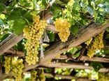 پیش بینی برداشت ۱۷۷ هزار تُن انگور در تاکستانهای خراسان شمالی
