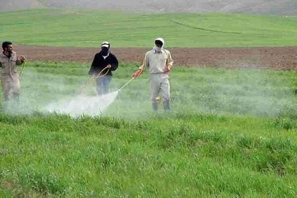تأکید بر سمپاشی مزارع علیه آفت زنگ زرد