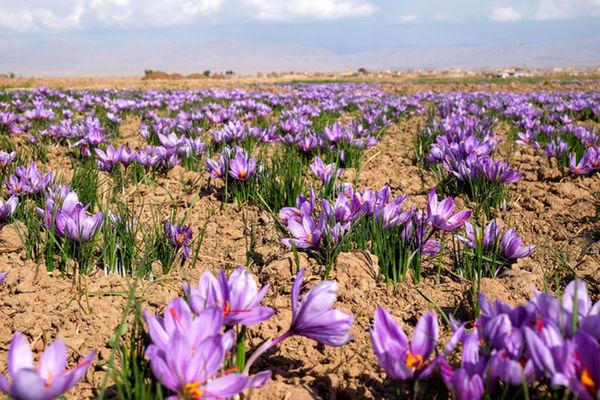 6 واحد فرآوری و بسته بندی  زعفران در خراسان شمالی فعال است