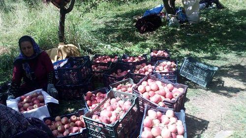 سیب اقلید زینت بخش بازار کشور