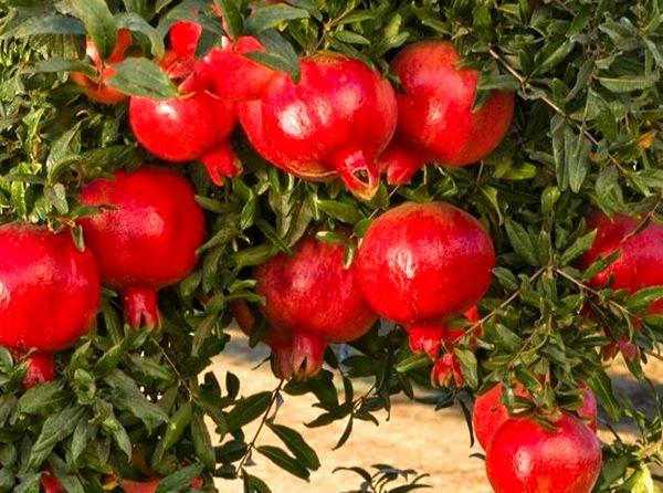 برداشت 35 هزار تن انار از باغات استان کرمان