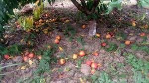 هجوم آفت مگس میوه مدیترانه ای به باغات شهرستان رابر