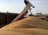 مرکز بوجاری گندم در گناوه فعال شد