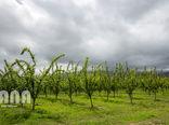 افزایش عملکرد در واحد سطح با اصلاح و نوسازی باغات