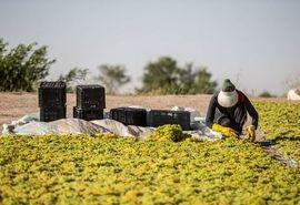 جمعآوری انگور در تاکستانهای خراسان شمالی شتاب گرفت