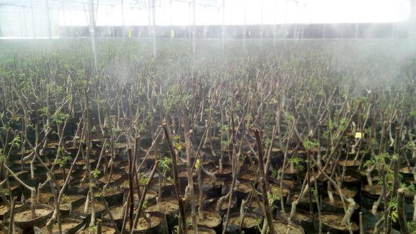 بازدید وزیر جهاد کشاورزی از گلخانه نهال گردو شهرستان بافت