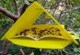 ردیابی مگس مدیترانهای در 19 هزار هکتار از باغهای ساری