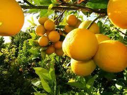 برداشت 60 درصد پرتقال مازندران