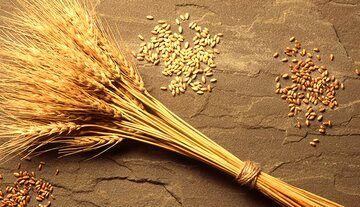 تولید دو هزار و ۶۰۰ تن بذر گواهی شده در چهارمحال و بختیاری