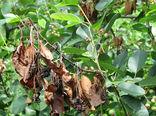 طرح تحقیقی ترویجی مبارزه با بیماری آتشک درختان میوه دانه دار در شهربابک برگزار شد