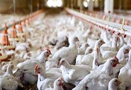 تکذیب شیوع بیماری آنفلوانزای فوق حاد پرندگان در طیور صنعتی