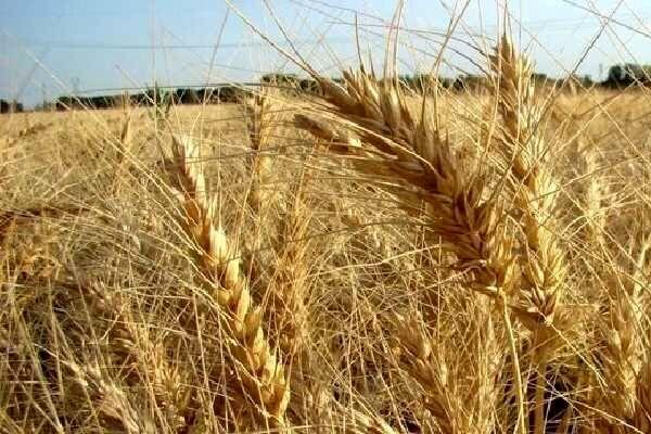 محصول گندم کشاورزان مشمول بیمه اجباری «تمام خطر» میشود