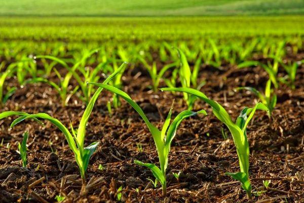 ۱۵ رقم جدید زراعی دیم به زودی رونمایی میشود