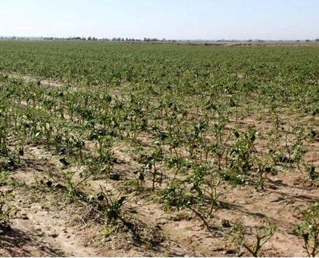 خسارت ۳۵۰ میلیارد ریالی بارندگی به کشاورزان جاجرم